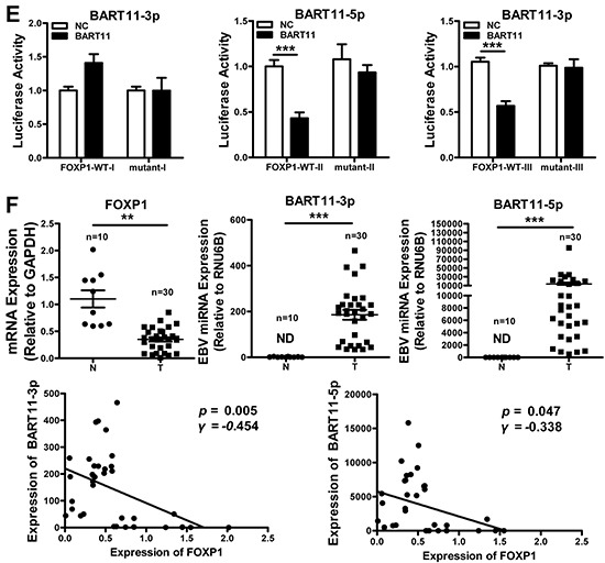FOXP1 is a direct target of EBV-miR-BART11 A. Three binding sites of EBV-miR-BART11-3p and EBV-miR-BART11-5p were predicted in the FOXP1 3′-UTR, including 3082 bp-3106 bp (I), 3917 bp-3998 bp (II), and 5943 bp-5970 bp (III). Wild-type (FOXP1-WT) and mutant (FOXP1-mutant) sequences were used to validate these predictions. B. The expression of exogenous EBV-miR-BART11-3p (left) and EBV-miR-BART11-5p (right) was detected by qRT-PCR. FOXP1 C. mRNA and D. protein expression levels in 5-8F, HK-1, and AGS cells after EBV-miR-BART11 treatment. β-actin served as loading control. E. Luciferase reporter assay, using reporter vectors containing either wild-type (FOXP1-WT) or mutant (FOXP1-mutant) FOXP1 3′-UTR, and EBV-miR-BART11 or non-targeting control, was performed in order to identify the direct binding of EBV-miR-BART11 to the FOXP1 3′-UTR in 5-8F cells. F. EBV-miR-BART11 and FOXP1 expression levels in NPC and control specimens were detected by qRT-PCR. N, non-tumor nasopharyngeal epithelium (n = 10); T, NPC (n = 30). Representative images or data expressed as mean ± SD of the measurements obtained in three separate experiments are presented (ND: not detected; * p