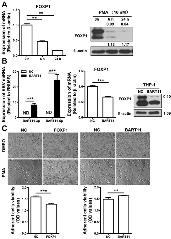 EBV-miR-BART11 promotes monocyte differentiation of THP-1 cells by attenuating FOXP1 expression A. FOXP1 expression at mRNA (left) and protein (right) levels, during the PMA-induced differentiation of monocytic THP-1 cells. B. The expression of EBV-miR-BART11 (left) and FOXP1 (middle, mRNA; right, protein) was examined by qRT-PCR and western blotting, respectively, in THP-1 cells infected with lentivirus encoding EBV-miR-BART11. C. The effects of EBV-miR-BART11 and FOXP1 on monocyte differentiation. Morphological changes were monitored in PMA-induced THP-1 cells following FOXP1 overexpression vector or EBV-miR-BART11 precursor vector transfection. THP-1 cell differentiation was determined by the viability of adherent cells, using MTT assay. Data represent mean ± SD of OD values obtained in three separate experiments (ND: not detected; ** p