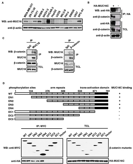 MUC16/MUC16C interacts with β-catenin A. Expression profile of MUC16 in different cell lines. The cell lysates were analyzed by Western blot with the self-made mouse anti-MUC16 (40 μg input) or mouse anti-β-actin (8 μg input) antibody respectively. B. Ectopically expressed MUC16C interacts with endogenous β-catenin. HeLa cells were transfected with pcDNA3.3-HA-MUC16C or the empty vector as a control. At 24 h post-transfection, cells were lysed and subjected to immunoprecipitation with mouse anti-HA antibody, followed by Western blot with mouse anti-HA and rabbit anti-β-catenin antibodies separately. C. MUC16 and β-catenin interact with each other in vivo. Lysates of SKBR-3 cells were subjected to immunoprecipitation with the control IgG, rabbit anti-β-catenin and mouse anti-MUC16 antibodies respectively. The precipitates were then detected with indicated antibodies. D. C-terminus of β-catenin is essential for its interaction with MUC16. For the domain mapping experiment, structures of deletion mutants of β-catenin are shown on the top of the panel. Functional domains of β-catenin are indicated above the schema; the remaining fragments of each deletion mutant are shown in the diagram. HEK293T cells were co-transfected with pcDNA3.3-HA-MUC16C and different MYC-β-catenin mutants or the empty vector as a control. At 24 h post-transfection, cells were lysed and subjected to immunoprecipitation with rabbit anti-MYC antibody, followed by Western blot with mouse anti-HA or anti-MYC antibody.