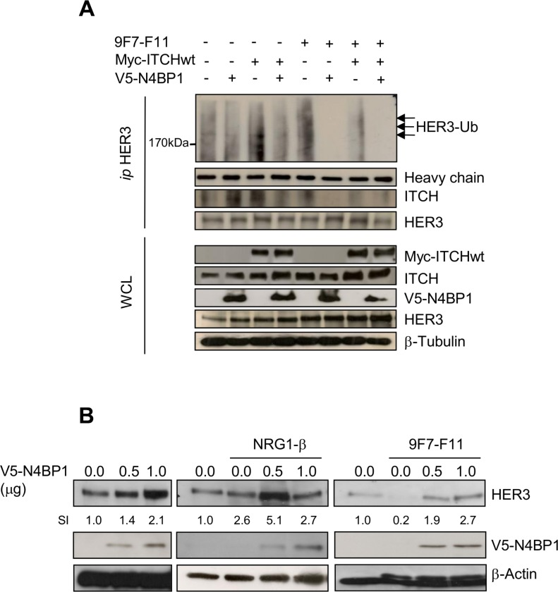 N4BP1 overexpression inhibits 9F7-F11-mediated HER3 ubiquitination and degradation induced by ITCH, and promotes HER3 protein stabilization in BxPc3 cells ( A ) Cells were co-transfected with the Myc-ITCHwt, HA-Ub and/or GFP-N4BP1 plasmids for 24 hr. Transfected cells were then incubated with 20 μM MG132 for 5 hr before addition of 50 μg/mL 9F7-F11 for 3 hr. After cells lysis with the <t>CHAPS</t> buffer and <t>immunoprecipitation</t> with the HER3 Ab, the ubiquitination status was analyzed by western blotting using an anti-HA antibody. HER3 and ITCH were detected using specific antibodies. ( B ) Cells were transfected with increasing doses of the V5-N4BP1 plasmid for 24 hr, and then incubated with 50 μg/mL 9F7-F11 or with 100 ng/mL NRG-1β for 3 hr. HER3 expression was assessed in whole cell lysates by western blotting. The V5-HRP antibody was used to detect N4BP1, and β-actin was the loading control. The signal intensity (SI) of the different bands was quantified with ImageJ. WCL, whole cell lysates.
