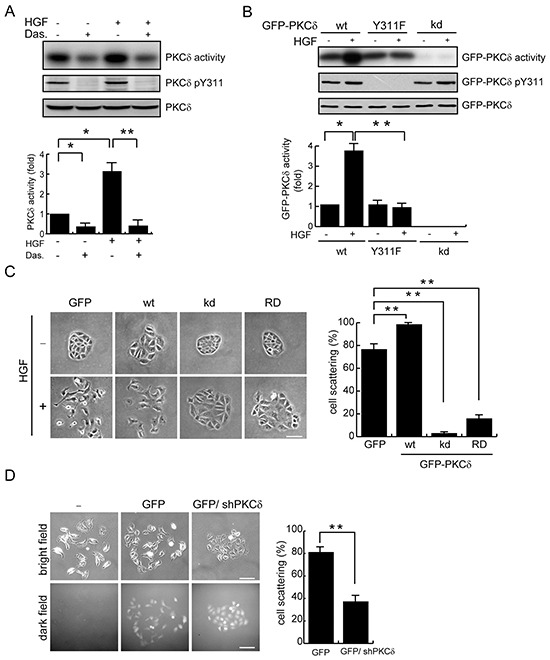 Phosphorylation and activation of PKCδ by Src is important for the scatter of MDCK cells upon HGF stimulation A. MDCK cells were serum-starved for 24 h and were then treated with (+) or without (−) the Src inhibitor dasatinib at 100 nM for 1 h before they were stimulated with HGF (20 ng/ml) for 15 min. Endogenous PKCδ was immunoprecipitated using an anti-PKCδ antibody, and the immunocomplexes were analyzed by immunoblotting with antibodies to PKCδ or PKCδ pY311. To measure the PKCδ activity, the immuoncomplexes were subjected to an in vitro kinase assay in the presence of [γ- 32 P]ATP and myelin basic protein (MBP) as the substrate. The 32 P-incorporated MBP were fractionated by SDS-polyacrylamide gel electrophoresis and visualized by autoradiography. The radioisotope activity was quantified using a phosphoimager system. The data are expressed as fold relative to the level of the control. Values (mean ± SD) are from three experiments. *, P