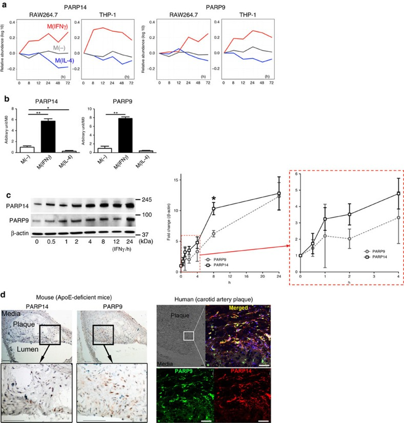 PARP9 and PARP14 expression in vitro and in vivo . ( a ) TMT-derived 0-h-normalized protein abundance profiles for PARP9 and PARP14 from mouse RAW264.7 and human THP-1 M(IFNγ) and M(IL-4) data sets. ( b ) PARP9 and PARP14 gene expression at 24 h after stimulation ( n =3). ( c ) PARP9 and PARP14 protein expression visualized by western blot. The time course in the relative protein abundances of PARP9 and PARP14 normalized to β-actin were quantified (graph, n =3). * P