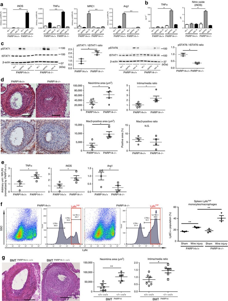 Role of haematopoietic PARP14 in acute arterial lesion formation in mice. ( a–c ) Cultured peritoneal macrophages derived from PARP14 −/− and PARP14 +/+ mice. ( a ) IFNγ and IL-4 pathway gene expression profiles ( n =3). ( b ) Secretion of inflammatory factors into culture media ( n =3). ( c ) Western blot and corresponding densitometry quantification of phosphorylated STAT1 and STAT6. Each data point is the average of triplicate samples per donor ( n =3). ( d ) Left: representative images of haematoxylin and eosin (H E; top) and Mac3 (bottom) staining. Scale bars, 100 μm. Right: quantification of lesion formation in mechanically injured femoral arteries of PARP14 −/− and PARP +/+ mice. Mac3 staining represents macrophage accumulation ( n =4–5). ( e ) LCM of the neointima followed by gene expression analysis ( n =4). ( f ) Flow cytometry analysis of splenic CD11b+Ly6G− monocytes after induction of mechanically injured femoral arteries of PARP14 +/+ and PARP14 −/− mice ( n =3). ( g ) Representative H E staining images and quantification of neointima formation in mechanically injured femoral arteries after bone marrow transplantation (BMT) PARP14 +/+→+/+ and PARP14 −/−→+/+ mice ( n =6). Scale bars, 100 μm. * P