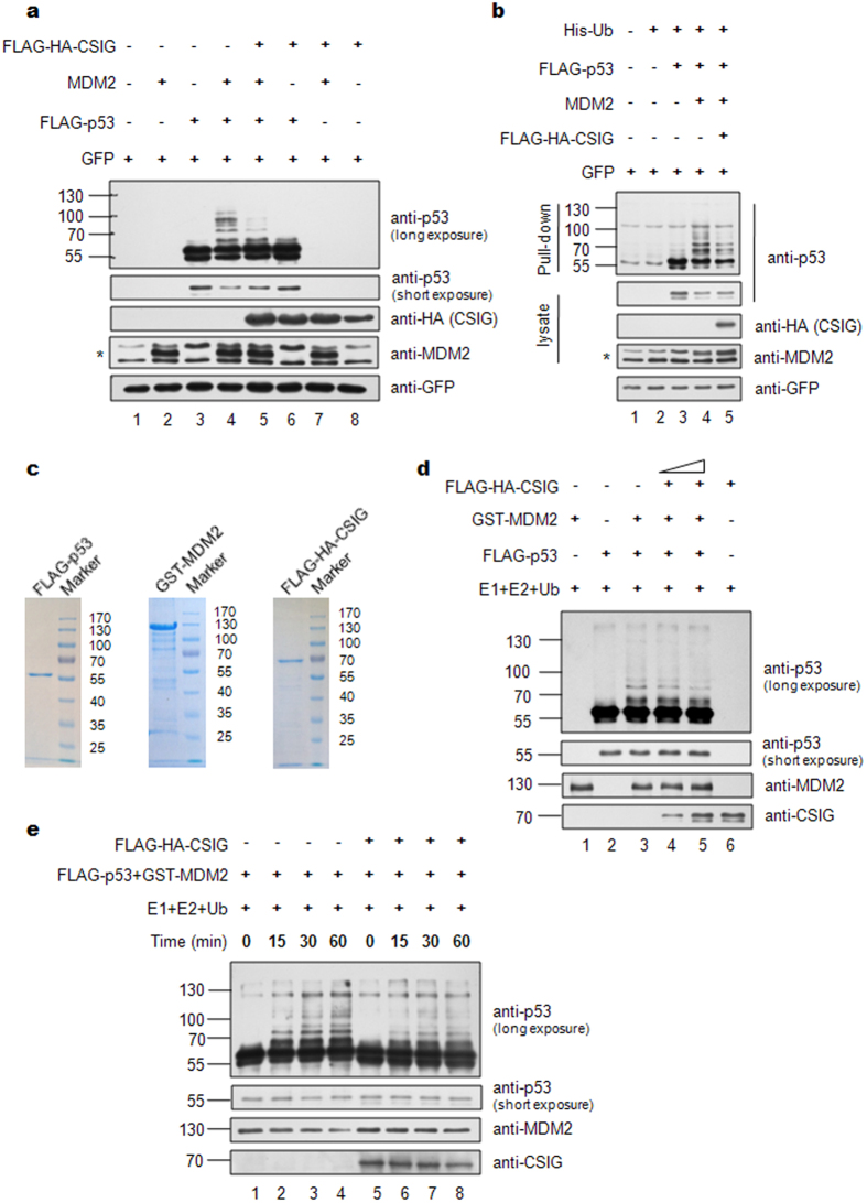CSIG inhibits MDM2-mediated ubiquitination of p53. ( a ) H1299 cells were transfected with the indicated plasmids. 24 h after transfection, the cells were treated with 20 μM MG132 for 6 h. Then, the cells were lysed and subjected to western blot analysis with the indicated antibodies. The asterisk indicates the specific MDM2 band. ( b ) H1299 cells were transfected with the indicated plasmids for 24 h. The cells were incubated with 20 μM MG132 for 6 h before harvesting, after which the cells were lysed under denaturing conditions and incubated with Ni-NTA Agarose (QIAGEN). Cell lysates and Ni-NTA Agarose-bound proteins were analyzed by western blotting with the indicated antibodies. The asterisk indicates the specific MDM2 band. ( c ) SDS-PAGE analysis and Coomassie blue staining of the purified components used for in vitro ubiquitination experiments. ( d ) For in vitro ubiquitination experiments, purified FLAG-p53 was incubated at 37 °C for 1 h with E1, E2, Ub, GST-MDM2, and increasing amounts of purified FLAG-HA-CSIG as indicated, and then analyzed by western blotting. ( e ) Purified FLAG-p53 was mixed with E1, E2, Ub and GST-MDM2 in the absence (lanes 1–4) or presence (lanes 5–8) of FLAG-HA-CSIG for in vitro ubiquitination reactions. The mixture was incubated at 37 °C for the indicated amount of time, and then the reactions were analyzed by western blotting.