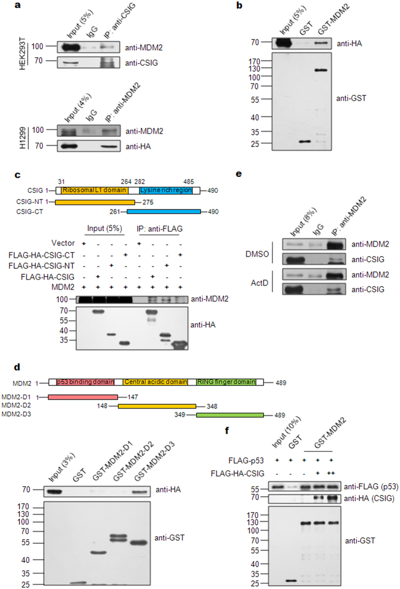 CSIG interacts with MDM2. ( a ) HEK293T or H1299 cells were co-transfected with pCMV-MDM2 and pIRES-FLAG-HA-CSIG for 48 h. The cell lysates were subjected to IP using the indicated antibodies and then analyzed by western blotting. ( b ) Purified GST or GST-MDM2 proteins were incubated separately with FLAG-HA-CSIG. The bound proteins were separated using Glutathione Sepharose and were detected by western blotting. ( c ) Schematic representation of the full-length CSIG protein (amino acids 1–490) and CSIG truncation mutants (CSIG-NT: amino acids 1–275, which includes the ribosomal L1 domain; CSIG-CT: amino acids 261–490, which includes the lysine-rich domain). HEK293T cells were co-transfected with pCMV-MDM2 and either pIRES-FLAG-HA-CSIG, pIRES-FLAG-HA-CSIG-NT, or pIRES-FLAG-HA-CSIG-CT for 48 h, after which the cell lysates were subjected to IP with the indicated antibodies and then analyzed by western blotting. ( d ) Schematic representation of the full-length MDM2 protein (amino acids 1–489) and MDM2 truncation mutants (MDM2-D1: amino acids 1–147, which includes the p53 binding domain; MDM2-D2: amino acids 148–348, which includes the central acidic domain; MDM2-D3: amino acids 349–489, which includes the RING finger domain). Purified GST, GST-MDM2-D1, GST-MDM2-D2, or GST-MDM2-D3 proteins were incubated separately with FLAG-HA-CSIG. The bound proteins were separated using Glutathione Sepharose and were analyzed by western blotting. ( e ) U2OS cells were treated with 5 nM ActD for 6 h, then with 20 μM MG132 for an additional 6 h. The cells were then harvested and subjected to IP using the indicated antibodies and then analyzed by western blotting. ( f ) Purified GST or GST-MDM2 proteins were incubated separately with FLAG-p53 and an increasing amount of FLAG-HA-CSIG as indicated. The bound proteins were separated using Glutathione Sepharose and were analyzed by western blotting.
