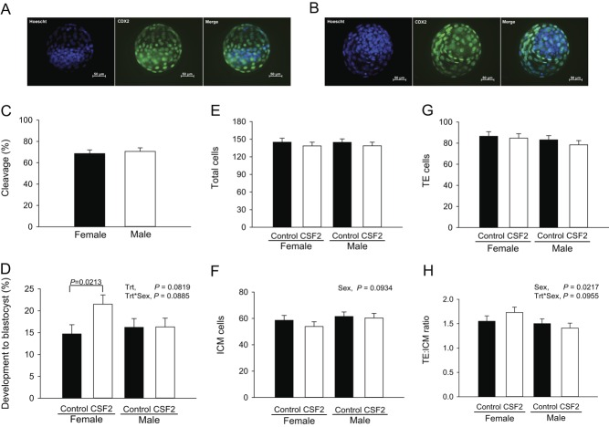 Effect of CSF2 and sex on cleavage and development of embryos to the blastocyst stage. The top panel shows representative images of a female (A) and a male (B) Day 7 blastocyst labeled with Hoechst (all nuclei) and <t>anti-CDX2</t> (trophectoderm (TE) cells). The graphs represent least-squares means ± s.e.m. for cleavage (C), percent putative zygotes developing to the blastocyst stage (D), numbers of total (E), inner cell mass (ICM; F), trophectoderm (TE; G), and the ratio of TE to ICM cell numbers (H). The experiment was replicated nine times with a total of 351–427 putative zygotes per treatment group. P value for the main effects of sex, CSF2 treatment (trt) and the interaction are shown for all effects where P