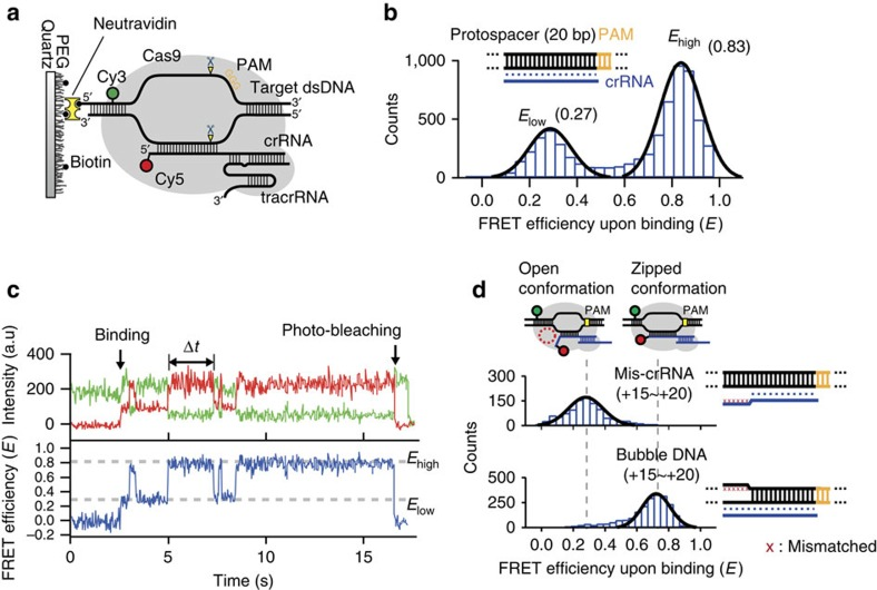 Single-molecule FRET analysis for sub-conformation of Cas9:gRNA:DNA. ( a ) Scheme for smFRET experiment. Cas9 with gRNAs that consist of Cy5 (acceptor)-labelled crRNA, tracrRNA, binds to Cy3 (donor)-labelled dsDNA. In the FRET measurement, a relatively low concentration of gRNAs (30 nM) compared with cleavage experiments was used to reduce the background fluorescence of Cy5-labelled crRNA. ( b ) A histogram of the FRET upon binding (we selected the molecules emitting Cy5 signal) to wild-type target DNA exhibits two peaks centred at 0.27 and 0.83, with Gaussian fits (black line). ( c ) A representative time trajectory representing the short-lived open conformation and zipped conformation exhibits two FRET states. The duration of each conformation is measured as the dwell time (Δ t ). The trajectory was imaged right after the injection of Cas9:gRNA into a single-molecule chamber with an integration time of 0.03 s. The points of binding and photo-bleaching were indicated by the black arrows. ( d ) Histograms of FRET upon binding with each PAM-distal mutant exhibit different conformational distribution (with Gaussian fits, black line). The 'mis-crRNA' represents the sequence containing mismatched bases between target and crRNA in PAM-distal region (from +15 to +20) and the 'bubble DNA' represents the sequence containing mismatched bases between nontarget and target strand in PAM-distal region (from +15 to +20). In b and d , diagrammatic representations are used for PAM (yellow), protospacer (black), crRNA (blue) and the approximate location of mismatched bases on target DNA (red cross).