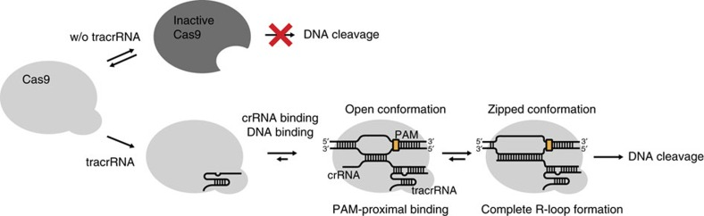 Scheme of the conformational roles of both tracrRNA and crRNA during Cas9 nuclease activity. Model for the conformational regulation of gRNAs during target DNA binding and cleavage process by Cas9:gRNA complex.