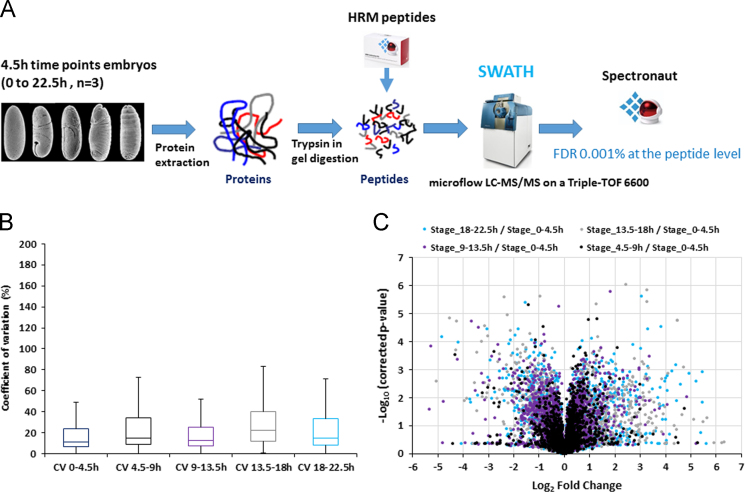 A) Overall strategy to measure changes in protein expression levels across D. melanogaster embryonic development by SWATH-MS. Embryos were collected at five 4.5 h timepoints to provide a developmental timecourse. Proteins were extracted, digested with trypsin and HRM peptides were spiked into the samples before injection. The samples were analysed using a SWATH acquisition mode on a Sciex Triple-TOF 6600. The resulting files were analysed with MaxQuant and Spectronaut TM . B) The Coefficient of variation (CV) between the biological replicates were calculated for each protein. CVs values were analysed using box plots with Excel. C) Volcano-plot representing the Benjamini–Hochberg corrected p -value as a function of the Log 2 Fold Change for each protein between each timepoint and the 0–4.5 h timepoint.