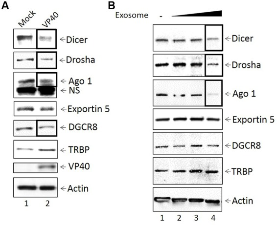Inhibition of miRNA machinery in transfected donor and recipient cells. (A) Mid-log phase 293T cells were transfected with VP40-producing plasmids via electroporation and incubated for 24 h, followed by treatment with Hygromycin B for plasmid selection until cells were confluent (9 days; lane 2). Mock transfected cells were electroporated without plasmid (lane 1). Cells were lysed with lysis buffer, whole cell extract was resuspended in Laemmli buffer, run on a 4–20% Tris-glycine SDS gel, and subsequently analyzed by Western blot for levels of miRNA machinery components Dicer, Drosha, Ago 1, Exportin 5, DGCR8, and TRBP. Presence of VP40 protein was analyzed as a control, along with Actin. NS, non-Specific binding (B) VP40-transfected 293T cells were grown under antibiotic selection for 14 days, followed by removal and filtering (0.22 micron) of the supernatant. CEM cells were treated with 100, 250, or 500 μL of filtered transfection supernatant (0.3, 0.75, and 1.5 mU AChE, respectively) and incubated for 5 days at 37°C. Cell pellets were isolated, lysed with lysis buffer, and analyzed by Western blot for miRNA machinery components Dicer, Drosha, Ago 1, Exportin 5, DCGR8, and TRBP. Actin levels were also analyzed.