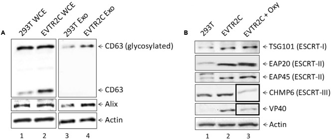 Effect of VP40 presence on exosomal markers and ESCRT machinery components. (A) 293T cells and VP40-resistant clones (EVTR2C cells) were grown for 5 days, followed by harvesting of both cells and supernatants. Cells were lysed and analyzed by Western blot for levels of CD63, Alix, and Actin. Supernatants were centrifuged and passed through a 0.22 micron filter, followed by incubation at 4°C with 30% slurry of NT80/82 beads for 72 h. Beads were spun down next day and resuspended in Laemmli buffer, followed by SDS/PAGE and Western blot analysis for levels of CD63, Alix, and Actin. (B) Whole cell extracts from 293T, EVTR2C, and EVTR2C cells treated for 5 days with 10 uM Oxytetracycline were run on a 4–20% Tris-glycine SDS gel and analyzed by Western blot for levels of ESCRT pathway components TSG101 (ESCRT-I), EAP20 (ESCRT-II), EAP45 (ESCRT-II), and CHMP6 (ESCRT-III), as well as VP40 and Actin.