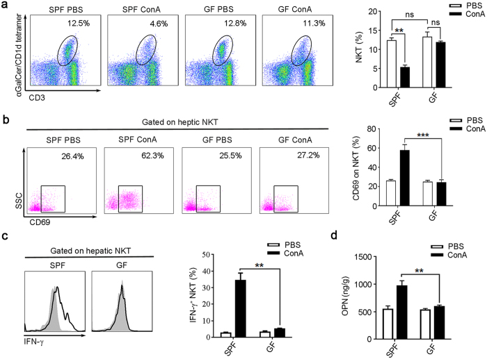 ConA is unable to activate NKT cells from GF mice. BALB/c mice were sacrificed 24 hr after ConA or PBS injection. ( a – c ) Intrahepatic leukocyte was analyzed by flow cytometry. ( a ) The percentages of NKT cells (CD19 − CD3 + αGalCer/CD1d tetramer + ) were determined, the representative scatterplot (left panel) and summative histogram (right panel) are shown. ( b ) Measurements of CD69 expression on hepatic NKT cells. ( c ) The intracellular IFN-γ levels in hepatic NKT cells, the filled flow cytometric histograms represent PBS-treated mice, and the open histograms represent ConA-treated mice. ( d ) OPN levels in the liver tissue, analyzed by Elisa. Two independent experiments with similar results were performed. The data represent means ± SEM (n = 8, two independent experiments). **P