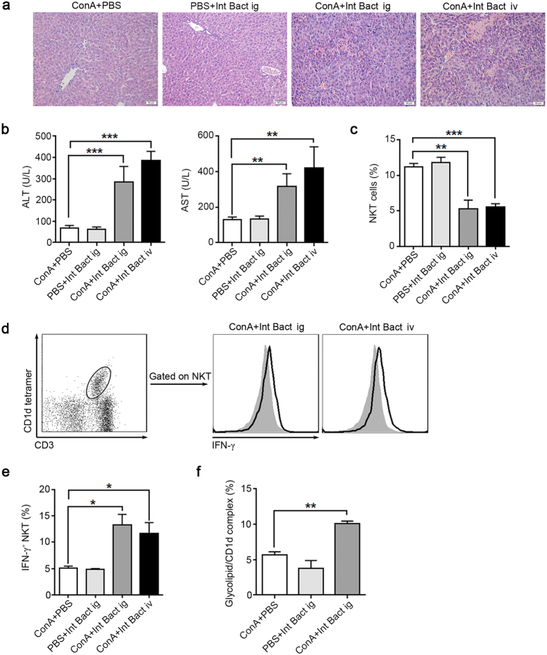 """ConA-induced liver injury is restored in bacteria-treated GF mice. Except for the 'ConA+PBS' group, other groups were pretreated with a mixture of killed intestinal bacteria (Int Bact) prior to ConA injection by intragastric gavage (ig) or intravenous injection (iv), 8 GF BALB/c mice per group. """"ConA + PBS"""" group received 8 day PBS orally administration followed by ConA injection, """"PBS + Int Bact ig"""" group received 8 day Int Bact orally administration followed by PBS injection. """"ConA + Int Bact ig"""" group received 8 day Int Bact orally administration followed by ConA injection. """"ConA + Int Bact iv"""" group received an Int Bact injection followed by ConA injection (see details in the supplementary methods ). Int Bact was consisted of E. coli , E. faecalis , Lactobacillus , Salmonella enteritidis and Group A Streptococcus . ( a ) H E staining of livers. Original magnification, 200×, scale bars represents 50 μm. ( b ) Serum ALT and AST levels. ( c ) Percentages of hepatic NKT cells in intrahepatic leukocytes. ( d ) Intracellular IFN-γ levels in hepatic NKT cells, filled flow cytometric histograms represent GF mice with PBS treatment before ConA injection, and open histograms represent GF mice pretreated with Int Bact before ConA injection. ( e ) The percentages of IFN-γ + NKT cells in total hepatic NKT cells. ( f ) The level of glycolipid/CD1d complex of total intrahepatic leukocytes, detected by L363 through flow cytometry. The data represent means ± SEM (n = 8, two independent experiments), *P"""
