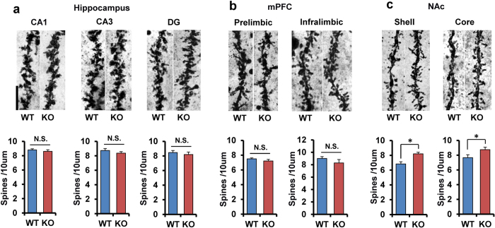 Increased spine density in the NAc of α7 nAChR KO mice. ( a ) CA1, CA3, DG from hippocampus. ( b ) Prelimbic and infralimbic regions of medial prefrontal cortex (mPFC). ( c ) Sell and core regions of NAc. Data represent the mean ± S.E.M. (n = 5). *P