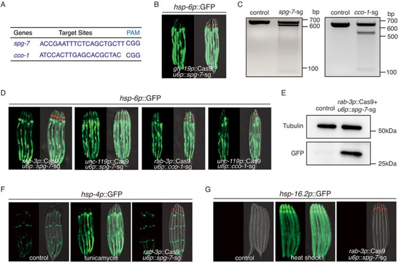 Neural-specific knockout of mitochondrial genes induces cell non-autonomous UPR mt . (A) Targeting sequences for CRISPR-Cas9 knockout of spg-7 or cco-1 , together with their PAM sequences. (B) Knockout of spg-7 in intestine activates hsp-6p ::GFP reporter cell autonomously. odr-1p ::dsRed is used as the co-injection marker. (C) Deletions of spg-7 or cco-1 by CRISPR/Cas9 are detected by T7E1 assay. Representative DNA gels of T7E1 assay show spg-7 or cco-1 PCR products amplified from genomic DNA of hsp-6 p::GFP worms (control), or unc-119p ::Cas9+ u6p :: spg-7 -sg(left), rab-3p ::Cas9+ u6p :: cco-1 -sg(right) worms. (D) Neural-specific knockout of spg-7 or cco-1 activates hsp-6p ::GFP in distal tissues. (E) Western blotting shows the increasing level of hsp-6p ::GFP in rab-3p ::Cas9+ u6p :: spg-7 -sg strain. The control lysate is from hsp-6p ::GFP strain. Cell lysates are probed with GFP antibody. Tubulin is used as a loading control. (F , G) Neural knockout of spg-7 fails to induce UPR ER or HSR in distal tissues. As positive controls, tunicamycin treatment robustly induces hsp-4p ::GFP reporter, heat shock 1 h at 34 °C robustly induces hsp-16.2p ::GFP reporter.