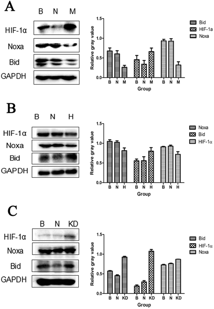 The effect of lncRNAs on HIF-1α, Bid and Noxa protein expression. ( A ) Expression of HIF-1α, Noxa and Bid in the blank, negative control and MEG3 OE groups. ( B ) Expression of HIF-1α, Noxa and Bid in blank, negative control and HCN3 KD groups. ( C ) Expression of HIF-1α, Noxa and Bid in blank, negative control and linc01105 KD groups. B, Blank group; N, Negative control group; H, HCN3 KD group; M, MEG3 OE group; KD, linc01105 KD group. Full-length blots were shown as supplementary figure 6 in supplementary information .