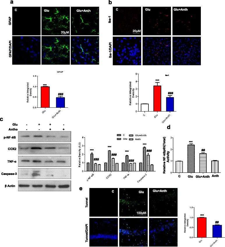 Anthocyanins reduced glutamate-induced glial cell activation, neuroinflammation, and DNA damage in hippocampal CA1 region of the developing rat brain. Given are representative immunofluorescence images along with relative IOD histograms of a astrocytes (GFAP)-positive cells and b microglia (Iba-1)-positive cells in the CA1 region of experimental groups. Images represent immunostaining performed with tissue sections prepared from at least five rats in each group. Panels representing hippocampal CA1 region immunostained with GFAP ( green ), Iba-1( red ) counterstained with DAPI (blue) of young rat brain. c The immunoblot represents proinflammatory markers, including p-NF- k B, COX2 and TNF-α proteins, which are accompanied by their relative density histograms. d The ELISA histogram of NF- k Bp65 (total) in the brain homogenates of treated animals. The assay was repeated three times according to the manufacturer's instruction. e The extent of DNA damage in the CA1 region by glutamate was analyzed by conducting TUNEL assay. To quantify DNA damage, ImageJ and Prism GraphPad programs were used. The values represent the mean ± SEM for the indicated proteins ( n = 5 animals per group). Significance, *** P