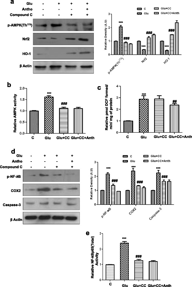 "Glutamate-induced neurotoxicity in the developing rodent brain is AMPK dependent. a The expression level of p-AMPK, Nrf2, and HO-1 proteins in the P7 rat brain homogenates that were treated with glutamate or glutamate with or without compound C and anthocyanins for 4 h. Their densities were measured with the help of Sigma Gel software. Their respective relative density histograms were made with Prism GraphPad. The membranes were redeveloped for β-actin and used as a loading control. b , c The histograms of AMPK activity and ROS assay were conducted with brain homogenates of the abovementioned experimental animal groups. The assays were performed in triplicate with the same results. d The Western blot analysis of p-NF- k B, COX2, and caspase-3 proteins in the hippocampus of postnatal day 7 rat brain following treatment with glutamate, glutamate and compound C, or glutamate, compound C, and anthocyanins. The relative integrated density for the abovementioned proteins are depicted in the histograms. The density values are expressed in arbitrary units as the mean ± SEM for the indicated proteins ( n = 5 animals per group). Details are provided in the "" Methods "" section. e The activity histogram of NF- k Bp65 (total) in the brain homogenates of treated animal's measured with ELISA kit method. Significance; *** P"