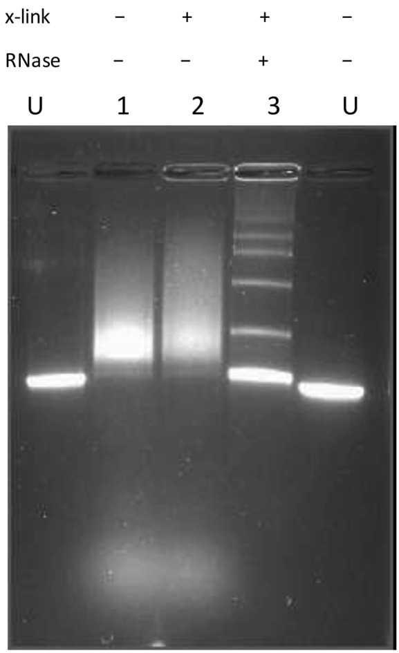 Agarose gel electrophoretic analysis of transcription mediated events. Agarose gel electrophoresis of linear pRST5 (BsmBI cut, no 3′ overhang) DNA in transcription buffer alone (U). If the DNA was transcribed for 30 min (Materials and Methods) and then deproteinized but not treated with RNase A, the DNA with RNA bound was present as a smear whether or not it was crosslinked with psoralen and UV ( 1 , 2 ). Following transcription, deproteinization and treatment with RNase A ( 3 ) the DNA was present as a ladder of bands with the monomer band shifted upward.
