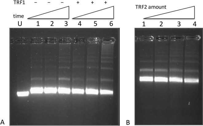 Agarose gel electrophoretic analysis of DNA transcribed in the presence of TRF1 or TRF2. ( A ) Agarose gel electrophoresis of linear pRST5 (BsmBI cut no 3′ overhang) DNA in transcription buffer alone (U). Lanes 1–6: the same DNA transcribed with T7 polymerase for for 2 min (  1 ,   4 ), 5 min (  2 ,   5 ) and 20 min (  3 ,   6 ), then treated with RNase A, and deproteinized. In lanes 4–6 the DNA was preincubated for 20 min with TRF1 protein (text, Materials and Methods) prior to transcription. ( B ) pRST5 DNA (BsmBI cut, 54 nt sss 3′ overhang) was preincubated with 0, 2, 4 or 8 TRF2 monomers per terminal ss/ds junction, respectively, (lanes 1–4) prior to transcription for 30 min with T7 RNA polymerase, RNase treatment and deproteinization.