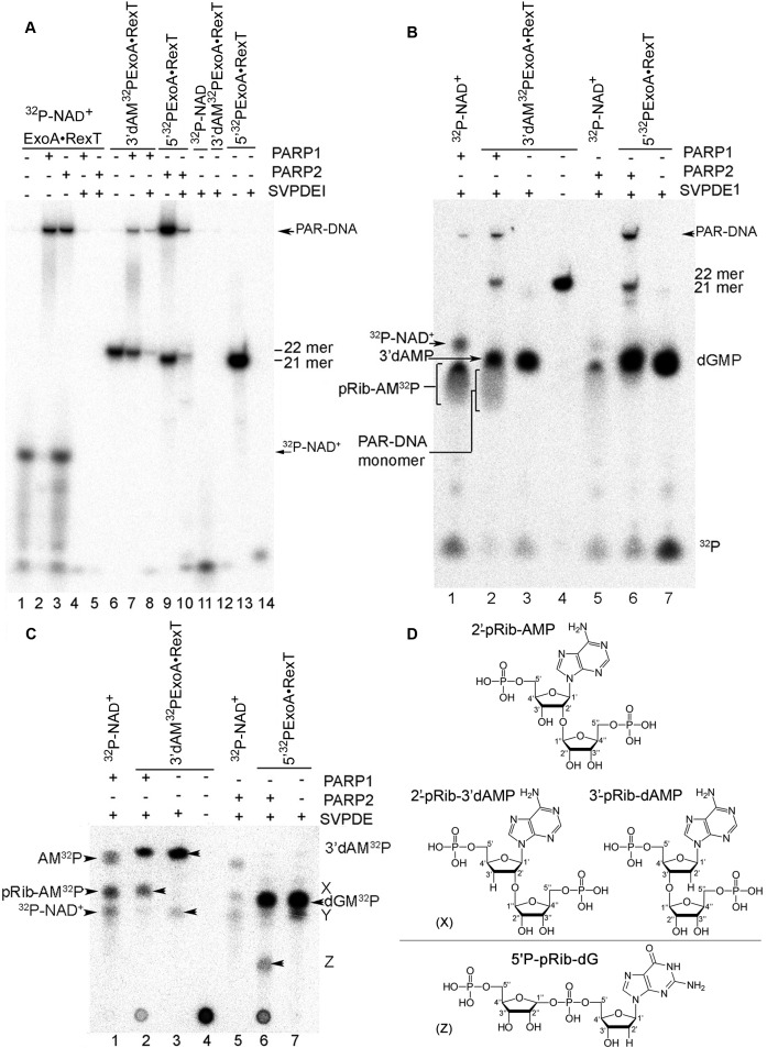 Separation and characterisation of PAR–DNA mono-adducts by denaturing PAGE and TLC. ( A ) The long-run denaturing PAGE analysis of the products of SVPDE1-catalysed digestion of the 3′- 32 P-cordycepin- and 5′-[ 32 P]labelled PAR–DNA adducts, free DNA and the PAR polymer. The samples were desalted before loading on the gel. ( B ) As in panel A but short-run denaturing PAGE. The samples were not desalted before loading on the gel. ( C ) TLC separation of the products of SVPDE1-catalysed digestion of the 3′- 32 P-cordycepin- and 5′-[ 32 P]labelled PAR–DNA adducts, free DNA and the PAR polymer. The samples were not desalted before loading on the plate. ( D ) Graphical representation of chemical structures of the phosphoribosyl adenosine monophosphate adducts. The pRib-AMP adduct is generated by digestion of the [ 32 P]labelled PAR by SVPDE1, whereas the 2′-pRib-3′dAMP and 5′P-pRib-dG adducts are generated by digestion of the 3′- 32 P-cordycepin-labelled and 5′-[ 32 P]labelled PAR–DNA by SVPDE1, respectively. Arrow 'X' indicates the putative 2′-pRib-3′dAMP adduct, 'Y' points to traces of a putative 3′-terminal dAMP-3′dAMP dinucleotide, 'Z' indicates the putative 5′P-pRib-dG adduct containing a pRib moiety covalently attached to 5′P of dGMP, 'AM 32 P' means adenosine 5′-[ 32 P]monophosphate, 'pRib-AM 32 P' stands for pRib-AMP with adenosine 5′-[ 32 P]monophosphate, ' 32 P-NAD + ' means [adenylate- 32 P]NAD + , '3′dAM 32 P' is cordycepin 5′-[ 32 P]monophosphate, 'dGM 32 P' denotes 2′-deoxyguanosine 5′-[ 32 P]monophosphate, and 32 P means free phosphate.
