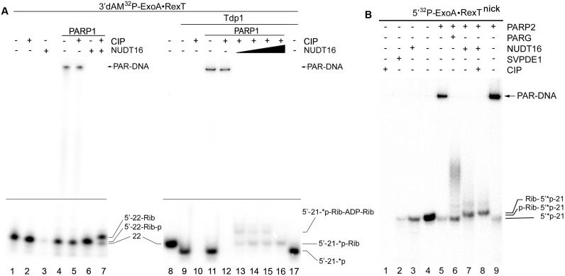 Analysis of the products of NUDT16-catalysed hydrolysis of PAR-DNA adducts generated by PARP1 and PARP2. The 10 nM 3′dAM 32 P-labelled and 3′-[ 32 P]labelled ExoA•RexT rec duplexes were incubated with 100 nM PARP1 and 1 mM NAD + , and the 40 nM 5′-[ 32 P]labelled ExoA•RexT nick duplex was incubated with 100 nM PARP2 and 1 mM NAD + at 37°C for 30 min. After incubation with PARPs, the samples were heated for 20 min at 80°C and the resulting [ 32 P]labelled HMW products were further incubated with 50 pg/μl PARG, 1 U SVPDE1, 10 U CIP or 2–20 μM NUDIX16. ( A ) Denaturing PAGE analysis of the products of NUDT16 and CIP catalysed hydrolysis of the PARP1-generated 3′-[ 32 P]labelled PAR-DNA adducts. To generate a DNA duplex containing a 3′-terminal 32 P residue, the 3′dAM 32 P-labelled ExoA•RexT rec duplex was treated with Tdp1. Lanes 1–8, 3′dAM 32 P-labelled ExoA•RexT rec duplex; lanes 9–17, 3′-[ 32 P]labelled ExoA•RexT rec duplex. ( B ) Denaturing PAGE analysis of the products of PARG-, SVPDE1-, CIP- and NUDT16-catalysed hydrolysis of the PARP2-generated 5′-[ 32 P]labelled PAR-DNA adducts (lanes 1–9). Arrows indicate phosphoribosylated (Rib-p), ribosylated (Rib) and native [ 32 P]labelled 21-mer and 22-mer oligonucleotides, '*p' stands for a labelled phosphate residue. For more details, see Materials and Methods.