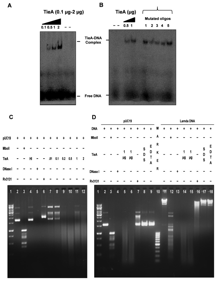 ( A ) Binding of TieA to dsDNA: electrophoretic mobility shift assays were carried out by incubating different concentrations of TieA (0.1, 0.5, 1 and 2 μg) with 0.5 nM 32 P-labeled DNA substrates. Samples were subjected to electrophoresis on native PAGE and visualized by autoradiography as mentioned in materials and methods section. ( B ) TieA binds to DNA non-specifically: electrophoretic mobility shift assays were carried out by incubating 1 μg of TieA with mutated oligos 1–5 (see Supplementary Table S1). ( C ) Nuclease activity of TieA: different concentrations of TieA (0.01, 0.1, 0.2, 0.5, 1 and 2 μg corresponding to lanes 7-12, respectively) were incubated with 1 μg of pUC19 DNA for 1 h at 37 °C. The reaction was stopped by addition of 10 mM EDTA and samples were deprotonized by adding proteinase K (10 μg/sample) in presence of 0.05% SDS for 15 min at 65°C. The digested products were separated on 1.2% agarose gel. Rv3131 (0.5 μg) was used as a negative control in lane 6. MboII (1 unit/reaction) and DNase I (1 unit/reaction) served as positive controls in lanes 3 and 5, respectively. Lane 4 represents heat inactivated TieA. ( D ) TieA cleaves both pUC19 (circular) and Lambda DNA (linear): pUC19 and Lambda DNA were incubated with TieA (lanes 5, 6, 14 and 15) for 1 h at 37°C and processed as described above. MboII (lanes 3 and 12) and DNase I (lanes 4 and 13) were used as positive controls. Rv3131 protein was used as a negative control (lanes 7 and 16). Ca 2+ –Mg 2+ dependent nuclease activity of TieA was confirmed by pre-incubating pUC19/Lambda DNA with either SDS (0.05%) or EDTA (10 mM) for 10 min (lanes 8, 9, 17 and 18) and later 1 μg of TieA was added and further processed as described above. Data are representative of three independent experiments. HI: heat inactivated.