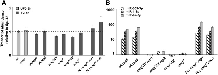 RT-qPCR shows that Ago1 mRNA expression is unaffected in smg mutants whereas miRNA levels are dramatically reduced. (A) RT-qPCR of Ago1 mRNA shows that expression is unaffected in smg mutant eggs and embryos. (B) RT-qPCR shows that a full-length smg transgene restores expression of miR-1-3p , miR-9-5p , and miR-309-3p expression in 2–4 hr smg 47 mutant embryos. AGO1, Argonaute 1; SMG, Smaug; FL, full-length smg transgene; mRNA, messenger RNA; rep, biological replicate; RT-qPCR, reverse transcription-quantitative polymerase chain reaction; wt, wild type.