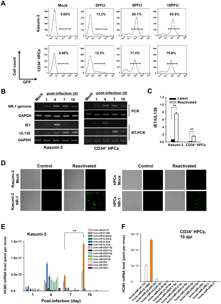 MiR-UL148D robustly accumulates in CD34 + progenitor cells during the establishment of experimental HCMV latency. (A) Kasumi-3 and CD34 + HPCs were efficiently infected with the NR-1 strain of HCMV. Kasumi-3 and HPCs were either mock-infected or infected with a GFP-expressing NR-1 strain at the indicated multiplicities of infection (MOIs). Two days later, the cells were analyzed for GFP expression by flow cytometry. An MOI of 5 was used for the following experiment. (B) The maintenance of the NR-1 genome, the suppression of viral IE1 and the presence of latency-associated UL138 over a 10-day time course. DNA and total RNA were isolated from Kasumi-3 cells and HPCs at various time points after infection. Viral genomic DNA was assayed by PCR, and RNA molecules encoding IE1 and UL138 were assayed by RT-PCR. In both cases, gel electrophoresis was used to detect the products of the reactions. (C) Reactivation of NR-1 virus in infected Kasumi-3 cells and HPCs. Kasumi-3 cells and HPCs were latently infected along a 10-day time course. Then, a subset of each cell population was cultured for an additional 2 days under conditions favoring lytic reactivation: Kasumi-3 cells were exposed to TPA, while HPCs were grown in reactivation medium. Following this, total RNA was extracted from the cells, and the ratio of IE1 to UL138 cDNA expression was assessed by qRT-PCR in triplicate. (D) Release of infectious progeny virions in latently infected Kasumi-3 cells and HPCs following reactivation treatment. Latently infected or mock-infected Kasumi-3 cells and HPCs were cultured under conditions favoring lytic reactivation (described above) or control conditions for 6 days, after which the cells were washed with PBS and co-cultured with HFFs for 2 days. Then, the Kasumi-3 cells were removed from the co-cultures, and the HFFs were washed with PBS and cultured for an additional 5 days for fluorescence microscopy analysis of GFP-positive plaques. (E) miR-UL148D showed robust accumulation du