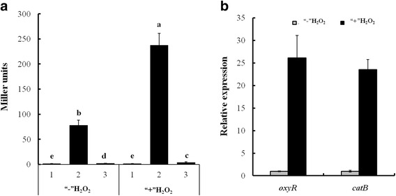 """Analysis of catB and oxyR transcripts in Xoo strains. a Assays for promoter activities of catB in PXO99 A and ∆ oxyR in the presence (""""+"""") or absence (""""-"""") of H 2 O 2 . Overnight cultures of wildtype and ∆ oxyR containing a pH -catBp-lacZ transcriptional reporter were inoculated 1:100 into fresh M210 liquid medium and shaken at 28 °C until cells reached at OD 600 of 1.0, and treated with 3 mM H 2 O 2 for 0.5 h. The catB promoter activity was analyzed by measuring β-galactosidase levels. 1, WT (pH -lacZ ); 2, WT (pH- catBp-lacZ ); 3, ∆ oxyR (pH- catBp-lacZ ). pH -lacZ was an empty plasmid used as the control. b Assays for catB and oxyR transcripts in PXO99 A treated with H 2 O 2 . Wildtype cells cultured in M210 liquid medium were exposed to H 2 O 2 at 3 mM for 0.5 h, H 2 O 2 -untreated cells were used as the control (CK), and the total RNA was extracted with TRIzol reagent. The expression levels of catB and oxyR were detected by quantitative RT-PCR and normalized to gyrB . Bars represent standard errors of the means from three independent cultivations, and different letters above the bars denote statistically significant differences ( P"""