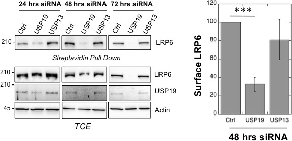 usp19 silencing leads to decrease in LRP6 cell surface expression. Surface Biotinylation assay performed in RPE1 cells upon 24, 48 and 72 hr of usp19 or usp13 gene silencing. Quantification of endogenous LRP6 surface expression at 48 hr of gene silencing in Streptavidin-mediated pull down is shown above the western blot. Errors represent standard deviation (n = 3) and ***