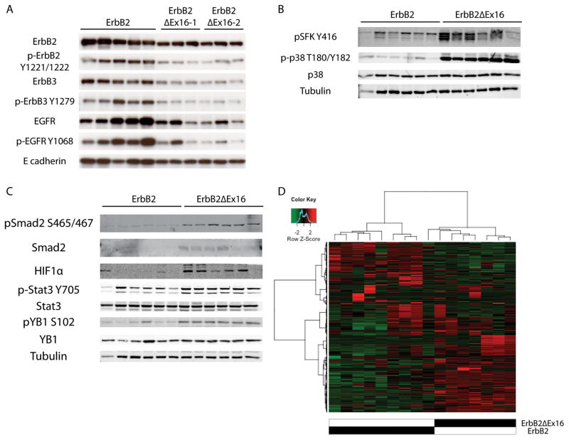 Immunoblot analysis of ErbB2-expressing tumors. (A) Full length ErbB2-driven tumors co-express heterodimer partners ErbB3 and EGFR, whereas ErbB2ΔEx16 tumors arise in the absence of heterodimerization partners. (B) ErbB2ΔEx16 displays heightened activation of Src-family kinases (SFK) and p38 MAPK. (C) Additionally, ErbB2ΔEx16-expressing tumors preferentially activate a distinct subset of transcription factors, primarily Smad2, HIF1α, Stat3, and YB1. (D) Unsupervised hierarchical clustering of tumors results in grouping of tumors by genotype.