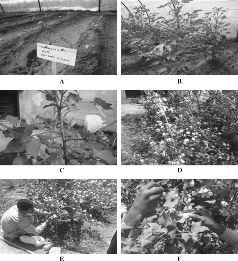 Putative ( T 0 ) plants in field a Newly shifted T 0 transgenic plants, b T 0 plants thriving in the field, c selfing of bolls to self-cross the seeds, d T 0 bolls at maturity, e and f Picking of T 0 bolls