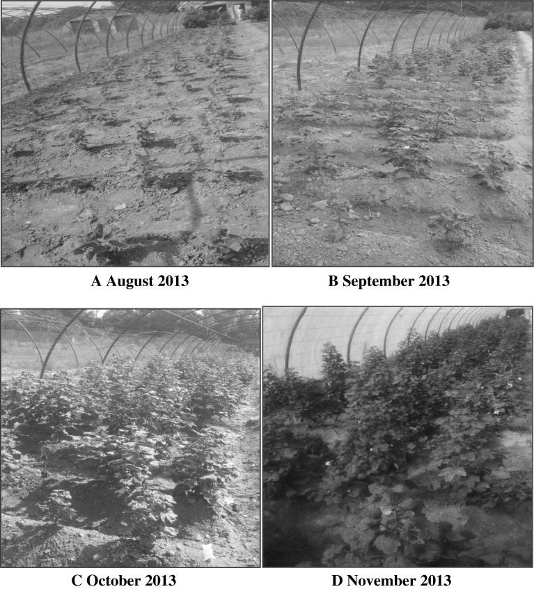 Pictorial View of Onset of CLCuV on T1 generation observed in different months. a Mild Symptoms of CLCuV on transgenic Cotton Plants. b Persistence of Mild Symptoms (CLCuV Tolerance) by Transgenic Cotton Plants. c Recovery of Plants vegetatively and reproductively while tolerating and minimizing viral titer. d Cotton Plants at Maturity showing tolerance of CLCuV with mild symptoms