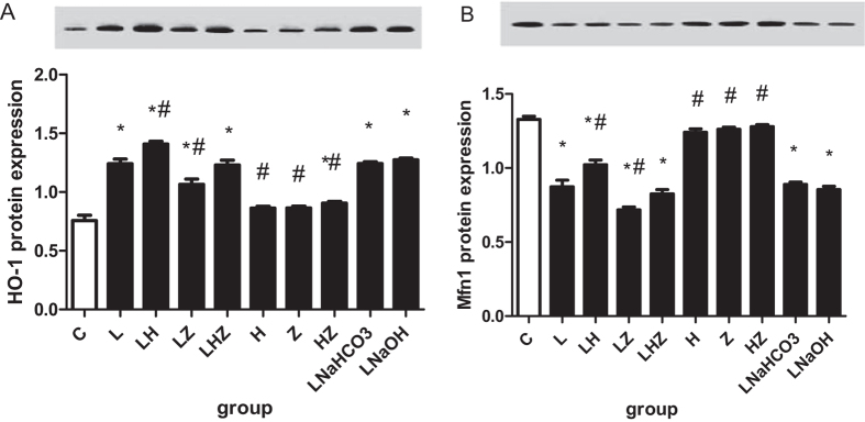Western blot analysis of HO-1 and Mfn1 in the in vivo experiment. ( A ) Shows the protein expression results and the gel image for HO-1. ( B ) Shows the protein expression and the gel image for Mfn1. The gels were run under the same experimental conditions. Compared with control group(C), protein expression of Mfn1 was decreased, but expression of HO-1 was increased in LPS group(L), LPS + NaHCO3 group(LNaHCO3) and LPS + NaOH group(LNaOH)(P