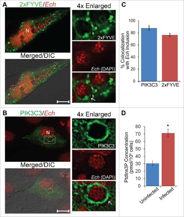 E. chaffeensis inclusion membrane is enriched with PtdIns3P and class III PtdIns3K. (A and B) E. chaffeensis ( Ech ) -infected RF/6A cells were transfected with plasmids encoding 2×FYVE-GFP or FLAG-PIK3C3/VPS34. At 15 h p.t. (2 d p.i.), cells were fixed and stained with DAPI to indicate E. chaffeensis (pseudocolored in red). PIK3C3 was labeled with mouse anti-FLAG. Merged/DIC, fluorescence image merged with differential interference contrast (DIC) image. Each boxed area is enlarged 4-fold on the right. N, nucleus; scale bars: 10 μm. (C) The percent colocalization of E. chaffeensis inclusions with PIK3C3 or 2×FYVE was determined by counting 10 to 20 inclusions per cell in 5 to 10 cells per experiment from 3 independent experiments. (D) PtdIns3P levels are increased in E. chaffeensis -infected THP-1 cells. Uninfected or E. chaffeensis -infected THP-1 cells (2 × 10 6 cells) at 1 d p.i. were collected, and PtdIns3P lipids were purified and the amount determined by competitive ELISA. Assays were carried out in triplicate. Data are presented as the mean ± standard deviation. * Significantly different by the Student t test ( P