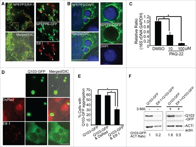 NPEPPS-GFP colocalizes with Etf-1 in cotransfected cells, traffics to E. chaffeensis inclusions, and reduces aggregation of Q103-HTT. (A and B) NPEPPS/PSA-GFP colocalizes with Etf-1 in cotransfected cells and surrounds E. chaffeensis inclusions. (A) DH82 cells were sequentially transfected first with Etf-1 and 1 d later with NPEPPS-GFP. At 1 d p.t. with NPEPPS-GFP, cells were immunostained with anti-Etf-1 (AF555). White arrows indicate the colocalization between the 2 proteins. (B) E. chaffeensis -infected RF/6A cells were transfected with NPEPPS-GFP at 1 d p.i. and stained with DAPI at 1 d p.t. (2 d p.i.). Merged/DIC, fluorescence image merged with DIC image. The boxed area is enlarged on the right. Scale bars: 15 μm. (C) PAQ-22 inhibits E. chaffeensis replication in THP-1 cells. E. chaffeensis -infected THP-1 cells were incubated with 0.1% DMSO (control) or 10 or 100 μM PAQ-22. qPCR of E. chaffeensis 16S rDNA normalized to human GAPDH . *, Significantly different by the Tukey HSD test ( P