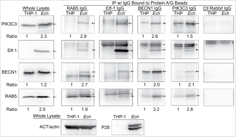 Etf-1 interacts with the RAB5-class III PtdIns3K complex. Co-immunoprecipitation of native Etf-1 with endogenous RAB5, BECN1, and PIK3C3/VPS34. Uninfected (THP) or E. chaffeensis -infected ( Ech ) THP-1 cells at 2 d p.i. were lysed in modified lysis buffer and immunoprecipitated ( IP ) with rabbit anti-Etf-1, BECN1, or PIK3C3, or mouse anti-RAB5 IgG cross-linked to protein A/G-magnetic beads for 2 h. Bound proteins were eluted and subjected to western blotting. Arrows indicate the target proteins. *, IgG heavy or light chains. The number under the figure is the density ratio relative to ACT/actin, with uninfected cells set as 1. The absence of a number indicates an infinite ratio (i.e., the protein was absent in the control). Images were representative of 3 experiments with similar results.