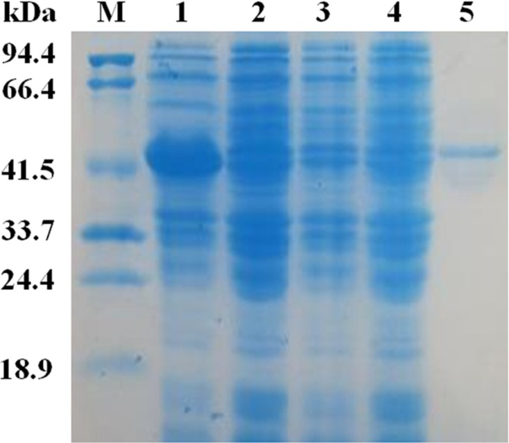 SDS-PAG analysis of the recombinant EglC22b stained with Coomassie blue. Lane M: protein MW marker (18.9–94.4 kDa); Lane 1: IPTG-induced E. coli pET22b-EglC; Lane 2: E. coli pET22b-EglC; Lane 3: IPTG-induced E. coli pET22b; Lane 4: E. coli pET22b; Lane 5: purified EglC22b.