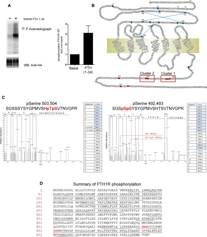 Mass spectrometry identifies phosphorylation sites in PTH1R. ( A ) HEK293T cells were transiently transfected with HA-tagged PTH1R and labeled with [ 32 P]orthophosphate followed by immunoprecipitation. HEK293 cells stably transfected with PTH1R–HA were used to immunoprecipitate PTH1R, which was then digested with trypsin and analyzed by mass spectrometry. For 32 P labeling and mass spectrometry studies, cells were stimulated with 500 nM PTH(1–34) for 8 min. Left panel: autoradiograph and Western blot (anti-HA antibody) loading control. Right panel: levels of 32 P were quantified by densitometry and are presented as fold increases in phosphorylation relative to non-stimulated controls. Data are representative of three independent experiments ± SEM. ( B ) Schematic representation of PTH1R. Locations of phosphorylation sites identified by MS/MS are indicated in red, and red boxes indicate the positions of phosphorylation site clusters 1 and 2. ( C ) Representative MS/MS spectra and associated fragmentation tables for two PTH1R phosphopeptides are shown. ( D ) Primary amino acid sequence of PTH1R indicating in red the amino acids identified as being phosphorylated and underlined in black are the regions of PTH1R covered by the analysis.