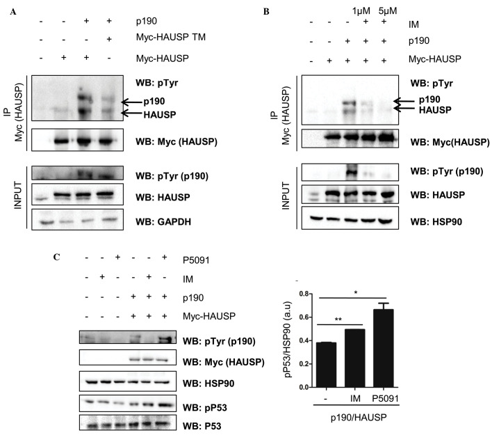 (A) Western immunoblotting using anti-pTyr antibody. HEK 293T cells were transfected with the HAUSP WT or HAUSP TM (Y243F/Y878F/Y947F) in the presence of p190 BCR-ABL. Immunoprecipitation was performed with anti-Myc antibodies (HAUSP). (B) Immunoprecipitation of Myc-HAUSP and anti-pTyr immunoblot following treatment with 1 or 5 µM imatinib for 24 h; (C) Left panel: Western immunoblot of HEK 293T cells expressing p190 BCR-ABL and Myc-HAUSP. Cells were treated with P5091 and imatinib for 24 h at concentration of 4.2 and 5 µM respectively, and were subsequently analyzed for expression of p53 and p-p53. Right panel: Quantification and statistical analysis of p-p53 protein (**P=0.0018 and *P=0.0371). P-values were calculated by a two-tailed t-test. p-, phosphorylated; Tyr, tyrosine; HAUSP, herpesvirus-associated ubiquitin-specific protease; GAPDH, glyceraldehyde 3-phosphate dehydrogenase; IP, immunoprecipitation; WT, wild-type; TM, triple mutant; IM, imatinib.