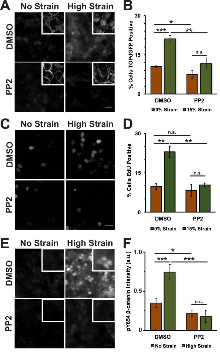 The Src Inhibitor PP2 blocks strain-induced increases in Y654 phosphorylated β-catenin and β-catenin transcriptional activity. Distribution of TOPdGFP at 8 hr ( A ), β-catenin at 8 hr (A, insets), EdU at 24 hr ( C ), and pY654 β-catenin at 8 hr ( E ) in MDCK Monolayers after No Strain or High Strain (15%) applied by the ISA, treated with either DMSO or the Src inhibitor PP2. Quantification of percent cells TOPdGFP- ( B ) or EdU- ( D ) positive and quantification of average pY654 β-catenin intensity per pixel ( F ). Quantifications were from at least 3 independent experiments and for the TOPdGFP and EdU quantifications included analysis of 707–1478 cells per experiment. Quantifications were mean +/- SEM; unpaired t-test ( B, D ) or Kolmogorov-Smirnoff ( F ) test p values