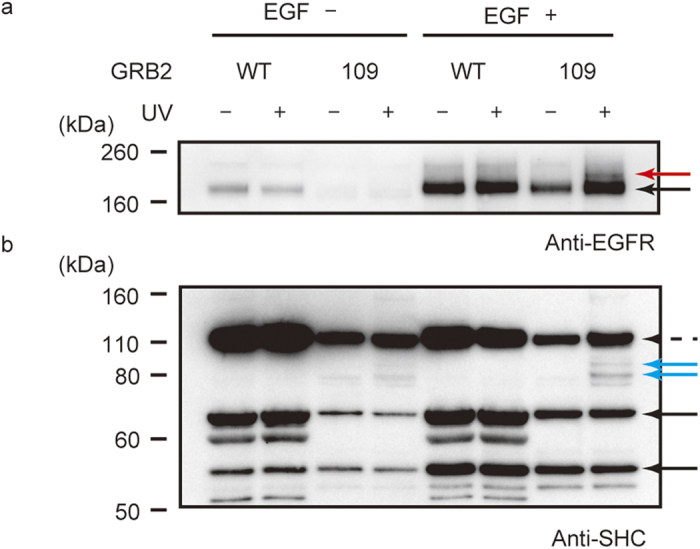 Photo-cross-linking between GRB2(mTmdZLys109) and endogenous cell-signalling proteins in human HUVEC cells. The GRB2 proteins, tagged with FLAG peptide, were precipitated from protein fractions of the human cells treated as indicated. Then, western blotting was performed using anti-EGFR antibody ( a ) and anti-SHC antibody ( b ). Black arrows indicate EGFR ( a ) and SHC ( b ). Red and blue arrows indicate probable cross-linked complexes of GRB2 with EGFR and SHC, respectively. The dashed arrow indicates non-specific binders for GRB2.