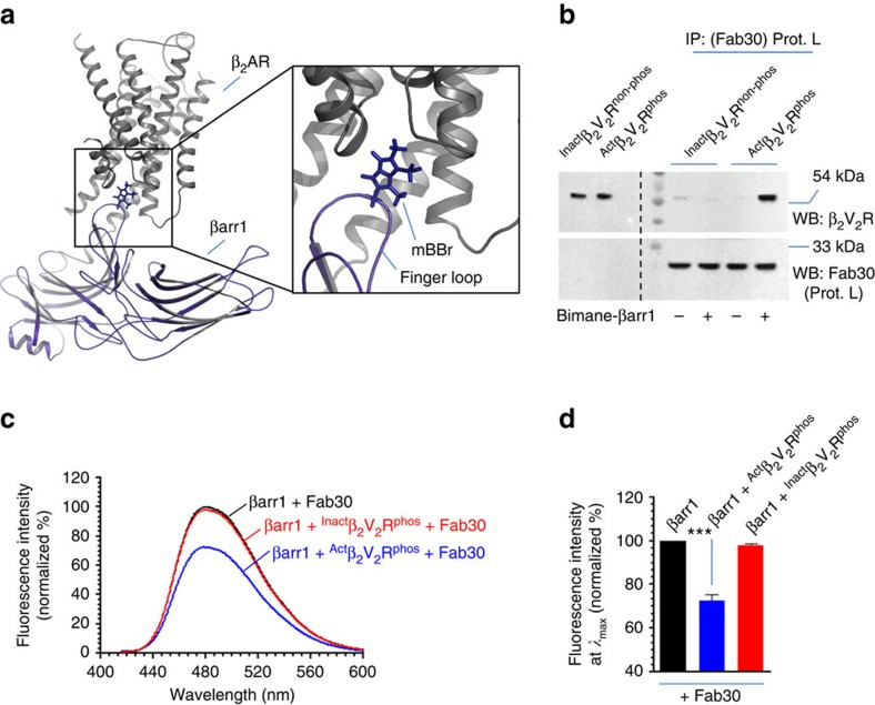Validation of partially and fully engaged complexes by fluorescence spectroscopy. ( a ) Structural model of β 2 AR–β-arr1 complex deduced based on negative-stain electron microscopy, cross-linking experiments and hydrogen-deuterium exchange mass-spectrometry reveals finger loop of βarr1 as a key component of the core interaction. L 68 in the finger loop of βarr1 was changed to cysteine in a cysteine-less βarr1 and monobromobimane was attached to this cysteine by chemical coupling. Upon core interaction, bimane fluorescence intensity decreases either due to change in chemical environment or quenching by a tyrosine/tryptophan residue in the vicinity. ( b ) Functional validation of bimane labelled βarr1 by its interaction with purified β 2 V 2 R. Similar to wild-type βarr1, bimane labelled βarr1 also forms a complex with agonist occupied and phosphorylated β 2 V 2 R. The experiment was repeated twice with identical results and a representative image is shown. ( c ) Incubation of Act β 2 V 2 R phos but not Inact β 2 V 2 R phos with bimane labelled βarr1 leads to a decrease in bimane fluorescence. Considering equivalent physical interaction of Act β 2 V 2 R phos and Inact β 2 V 2 R phos (as presented in Fig. 1e,f ), bimane fluorescence data suggests that Act β 2 V 2 R phos engages the core interaction while the Inact β 2 V 2 R phos does not. These data suggest that Inact β 2 V 2 R phos +βarr1+Fab30 and Act β 2 V 2 R phos +βarr1+Fab30 complexes represent 'tail only' and 'fully' (tail+core) engaged complexes, respectively. ( d ) Bimane fluorescence at emission λ max as measured in c is presented as a bar graph. Data presented in d represent mean ±s.e.m. of three independent experiments analysed using one-way ANOVA with Bonferroni post-test (*** P
