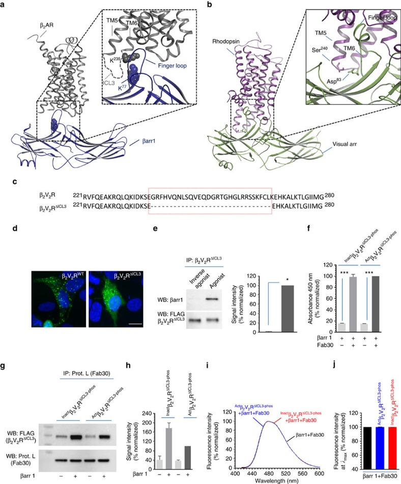 Truncation of the third intracellular loop in β 2 V 2 R ablates core interaction with βarr1. ( a ) Cross-linking experiments and electron microscopy based structural model of β 2 V 2 R–βarr1 complex has identified the third intracellular loop of the β 2 V 2 R as prominent interface for core interaction through docking of the finger loop of βarr1. Residues that are identified to cross-link with each other in β 2 V 2 R–βarr1 complex are labelled and their side chains are highlighted as space fill model. ( b ) Cross-linking studies and X-ray crystal structure of rhodopsin-visual arrestin also displays the vicinity of the third intracellular loop in rhodopsin with the finger loop of visual arrestin. ( c ) Sequence alignment of β 2 V 2 R and β 2 V 2 R ΔICL3 (third intracellular loop truncated receptor) to highlight the deleted amino acids (Gly 238 -Lys 267 ) (red box). ( d ) Confocal microscopy of HEK-293 cells expressing either β 2 V 2 R or β 2 V 2 R ΔICL3 with β-arr1-YFP. Agonist stimulation leads to accumulation of endocytotic vesicles that indicates recruitment of βarr1 to activated receptor. Nuclear staining is shown using 4,6-diamidino-2-phenylindole. Compared with β 2 V 2 R, β 2 V 2 R ΔICL3 exhibits somewhat weaker recruitment of βarr1 as reflected by less punctate appearance. Scale bar, 10 μm. ( e ) Coimmunoprecipitation of β 2 V 2 R ΔICL3 with βarr1 expressed in HEK-293 cells further confirms the recruitment of βarr1 to the truncated receptor upon agonist stimulation. Cells were stimulated with agonist (Isoproterenol, 10 μM for 30 min at 37 °C) followed by cross-linking using dithiobis(succinimidyl-propionate) (1 mM for 30 min at room-temperature) and subsequently, receptor–βarr1 complex was coimmunoprecipitation using anti-FLAG antibody beads. ( f ) Assembly of β 2 V 2 R ΔICL3 +β-arr1+Fab30 complex as measured using ELISA approach and ( g ) coimmunoprecipitation experiment. Similar to β 2 V 2 R, β 2 V 2 R ΔICL3 also forms a stable complex with βarr1 in the pres