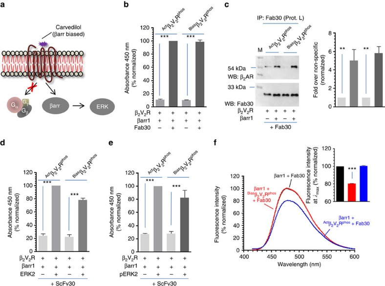 A βarr biased ligand of β 2 AR does not promote core interaction with βarr1. ( a ) Carvedilol is a high-affinity βarr biased ligand of β 2 AR and it selectively promotes βarr binding and ERK activation in the absence of any detectable G protein coupling. ( b ) Carvedilol bound and phosphorylated β 2 V 2 R (referred to as Bias β 2 V 2 R phos generated through incubation of Apo β 2 V 2 R phos with tenfold molar excess of carvedilol) exhibits a robust interaction with βarr1 in the presence of Fab30 as assessed by ELISA. Purified Fab30 was immobilized and then incubated with βarr1 and either Bias β 2 V 2 R phos or Act β 2 V 2 R phos . Formation of complex was detected using anti-FLAG M2 antibody. ( c ) Formation of βarr1 complex with Bias β 2 V 2 R phos in the presence of Fab30 as assessed by coimmunoprecipitation. The experiment was repeated three times with identical results and a representative image is shown. Quantification of the data is shown as bar graph. ( d ) Interaction of Bias β 2 AR phos +βarr1+ScFv30 and Act β 2 V 2 R phos +βarr1+ScFv30 complexes with inactive and ( e ) active ERK2. Purified ERK2 was immobilized followed by incubation with pre-formed complexes and detection using HRP-coupled anti-FLAG M2 antibody. ( f ) Interaction of Bias β 2 V 2 R phos with βarr1 does not lead to a detectable decrease in bimane fluorescence suggesting the lack of core interaction. Apo β 2 V 2 R phos was first incubated with tenfold molar excess of carvedilol or BI-167107 to obtain Bias β 2 V 2 R phos and Act β 2 V 2 R phos , respectively. Subsequently, these receptor preparations were incubated with bimane labelled βarr1 and Fab 30 to form a complex followed by fluorescence scanning in the wavelength range indicated on the graph. The data represent an average of three independent experiments. Data presented in b , d and e represent mean±s.e.m. of at least three independent experiments each carried out in duplicate and analysed using one-way ANOVA with Bonferroni post-test
