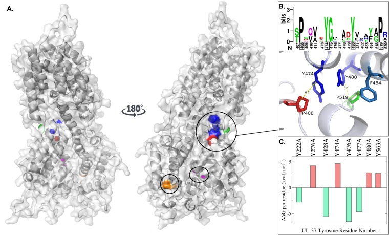 Predicted structure and dynamics of the HSV-1 UL37 protein. (A) Space-filling predictive model of 570 amino acids in the amino terminus of pUL37 in HSV-1 based on the known crystal structure of a corresponding amino-terminal region of PRV UL37. Blue, Y476-Y477 and Y480; orange, P262-L263; red, P408; green, P519; magenta, G419-F420. (B) Sequence logo depicts the relative conservation of amino acids 407 to 411, 473 to 484, and 518 to 520 (top portion of panel B). Approximate distances between the aromatic residues Y474, Y480, and F484 and P408 and P519 (bottom portion of panel B). (C) In silico alanine-scanning mutagenesis. The difference between the free Gibbs energy before and after the mutation (ΔΔ G ) is shown on the y axis. Values are reported as the deviation from the median ΔΔ G of UL37 tyrosine-to-alanine mutations. Negative values indicate stabilizing mutations (green). Positive values indicate destabilizing mutations (red).