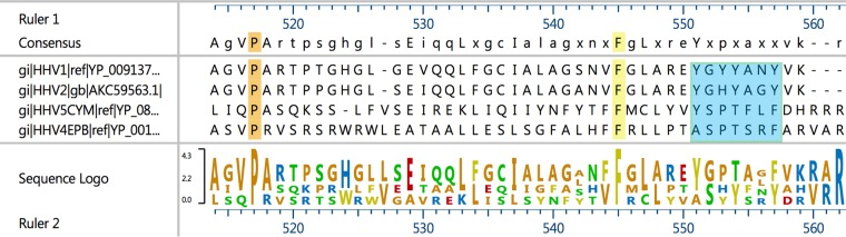 Sequence alignment of alpha-, beta-, and gammaherpesvirus UL37 proteins. Sequence alignment of HSV-1, HSV-2, HCMV, and EBV UL37 proteins was performed as described in Materials and Methods. The region is similar to the aa 470-to-485 codon region of Fig. 1 . The consensus sequence logo depicts the relative conservation of each residue. Orange highlights conserved proline, and yellow highlights conserved phenylalanine. The region Y551-Y557 corresponding to Y474-Y480 shown in Fig. 1 is highlighted in blue.
