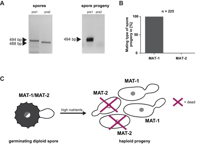 Mating type bias of U. bromivora. ( A ) Diagnostic PCR on genomic <t>DNA</t> derived from spores and spore progeny to test for mating type 1 (MAT-1) or mating type 2 (MAT-2). To this end, primers targeting a conserved region of pheromone receptor alleles 1 ( pra1 ) and 2 ( pra2 ), adapted from Kellner et al. (2011) , were used. Sizes of PCR products are indicated with arrow heads. Representative PCR results are shown. ( B ) Quantification of mating type alleles of 225 progeny derived from 21 spores by PCR as described in ( A ). ( C ) Schematic model illustrating the observed mating type bias phenomenon. DOI: http://dx.doi.org/10.7554/eLife.20522.007