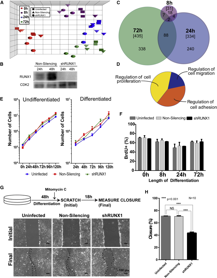 Knockdown of RUNX1 Impairs the Migration Ability, but Not the Proliferation Rate, of hESCs during Mesendoderm Differentiation (A) Principal component analysis of the time points, replicates, and treatments for mesendodermal differentiation of hESCs from transcriptome profiling. Four time points (undifferentiated [0h; red], 8 hr [8h; purple], 1 day [24h; blue], and 3 days [72h; green]) (n = 3 replicates from independent experiments) were analyzed by microarray analysis under three different treatments (uninfected [squares], non-silencing infected [triangles], and shRUNX1 [circles]). (B) Representative western blot comparing the levels of RUNX1 in hESCs treated with either non-silencing shRNA or RUNX1 shRNA differentiating to mesendoderm, confirming that RUNX1 is knocked down in shRUNX1 hESCs. (C) Venn diagram of the number of genes with expression changes greater than 1.5-fold, and p value and FDR p values less than 0.05, at each differentiation time point under shRUNX1 treatment compared with non-silencing infected hESCs. The total number of genes changed at each time point is in brackets. (D) ClueGO analysis of genes with significant expression changes reveals three biological processes that might be affected by RUNX1 knockdown. (E) Growth curves for hESCs either uninfected (blue), non-silencing infected (red), or with shRUNX1 (green) under pluripotent and mesendoderm differentiation conditions. Line graph represents mean ± SEM from three independent experiments. (F) Percentage of cells staining positive for BrdU with a 30-min pulse of labeling. Quantification of BrdU + cells was performed using blind scoring in duplicate of 200 cells from immunofluorescent images. Data represent mean ± SEM from three independent experiments. (G) Representative phase-contrast images from a scratch closure assay. Cells were plated, differentiated for 48 hr, and after 46 hr of differentiation cells were treated with mitomycin C (to inhibit proliferation) after which a scratch was mad
